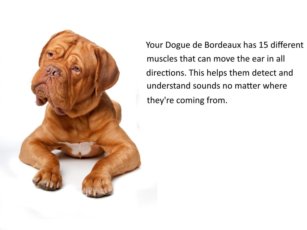 my dogue de bordeaux cocks his head